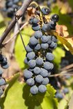 Black grapes. Cluster of dark grapes hanging from the vine Stock Photos