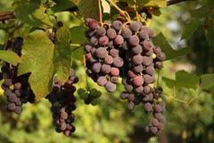 Black Grapes. Ripe black Grapes at vineyard, Italy Stock Photos