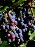 Black grapes. Close-up of ripe black grapes Stock Photo