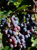 Black grapes. Close-up of ripe black grapes Stock Photos