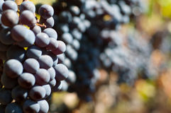 Black grapes. In vineyard. Shallow background Stock Photos
