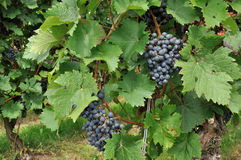 Black grapes #2, baden. Black grapes and vine leaves in vineyard, baden Royalty Free Stock Photos