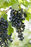 Black grapes royalty free stock photos