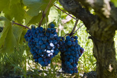 The black grapes. The black (red) grapes in the wineyard stock image