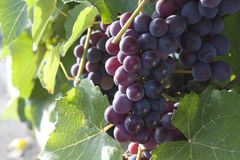Black grapes. Bunch of grapes in the leaves Stock Photography