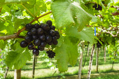 Black Grapes. With green leaves on the vine Royalty Free Stock Photo