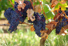 Black grapes. On vine in Portugal Stock Photo