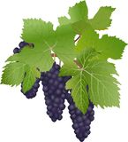 Black grapes. The vector drawing of berries of black grapes Stock Images