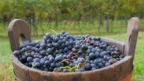 Black grapes and basket with vineyards in background stock video footage