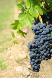 Black grapes detail. With a blurry background Royalty Free Stock Photography