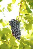 Black grapes with vines stock photography