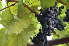 Black grapes in green leaves royalty free stock image
