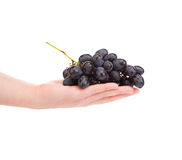 Black grapes in hand. Stock Photography