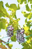 Black grapes hanging in the vine stock images