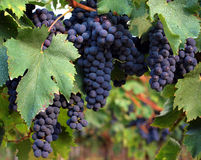Black grapes and leaves. Black ripe grapes ready for harvesting in Italian vineyard Royalty Free Stock Images