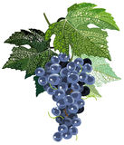 Black grapes with leaves. Illustration of artistic black grapes bunch with leaves Stock Photography