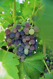 Black grapes of Muscat Stock Images