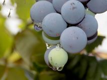 Black grapes after rain. Shot in macro in August royalty free stock photos