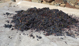 Black grapes ready to go a homemade winery to make wine. Black grapes on the floor ready to go a homemade winery to make wine Royalty Free Stock Photography