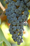 Black grapes on vine. Used to make Lambrusco, Italian red sparkling wine Stock Photo
