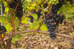 Black Grapes on the vine Royalty Free Stock Photos
