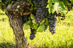 Black grapes on the vine. stock images