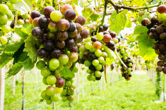Black grapes in vineyard. Before harvest Stock Image