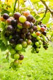 Black grapes in vineyard. Before harvest Royalty Free Stock Photography