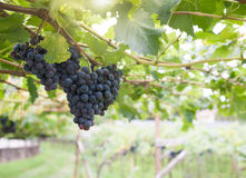Black grapes in a vineyard Stock Image