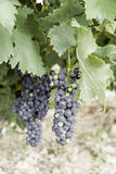 Black grapes in a vineyard Royalty Free Stock Photo