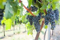 Black grapes vineyard. In detail view Royalty Free Stock Photos
