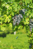 Black grapes Royalty Free Stock Image