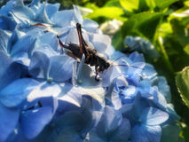 Black grasshoper on blue flower Royalty Free Stock Photo