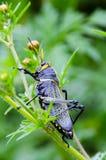 Black Grasshopper Stock Images