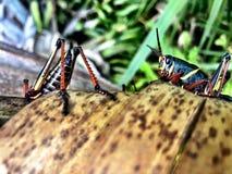 grasshopper on a palm tree royalty free stock photo