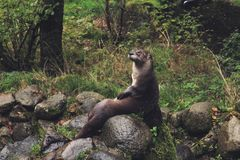 Black and Gray Beaver Sitting on Gray Rock during Daytime Royalty Free Stock Images