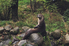 Black and Gray Beaver Sitting on Gray Rock during Daytime Royalty Free Stock Photography