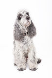 Black and gray dog Stock Photography