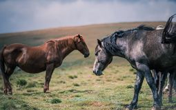 Black and Gray Horse Beside Brown Horse on Grass Field Stock Photography
