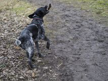 Black gray hunting dog crossbreed whippet and labradorit running Stock Images