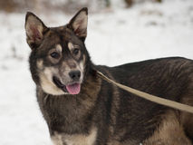 Black and gray mongrel dog standing on snow Stock Images