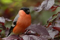 Black Gray and Orange Bird Royalty Free Stock Images