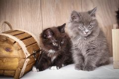 Black and gray playful kittens near the wooden box. Sweet cats Stock Image