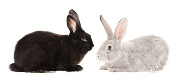 Black and gray rabbits. Sitting isolated on white background royalty free stock photos