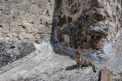 Black and gray tabby cat looking to the side. Single black and gray young tabby cat looking to the left side sitting on a stone from a rock wall in Matera royalty free stock images