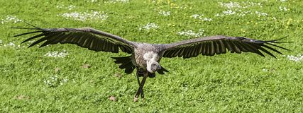 Black and Gray Vulture Flying at Daytime Stock Photo