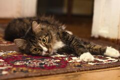 Black Gray and White Tabby Cat Resting in Brown Red Black and White Rug Royalty Free Stock Image