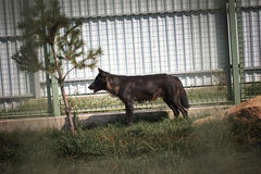 Black and gray wolf in zoo. Black and gray wolf prowling with soft focus fence in background Royalty Free Stock Photo