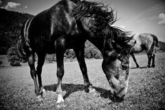 Black grazing horse in monochrome  close-up. Black grazing horse in black and white monochrome  close-up Royalty Free Stock Image