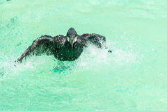 A black great cormorant wading and flapping its wing with lot of splash water Royalty Free Stock Photo